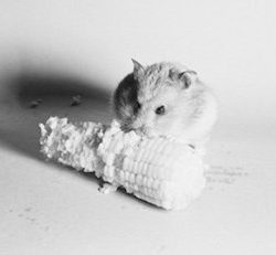 Syrian hamster eating corn on the cob Artistica di Stampa (60,96 x 91,44 cm)