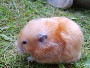 colores del hamster sirio
