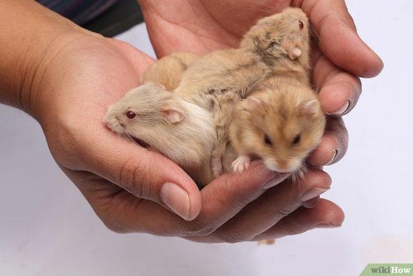 como cuidar de un hamster