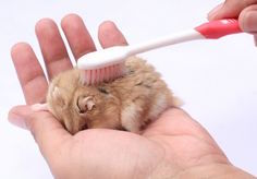cuidados de un hamster
