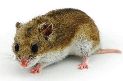 cuidados hamster chino