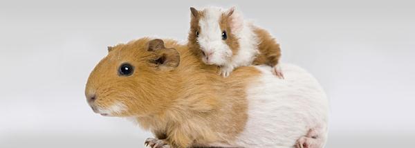 cuidados para un hamster