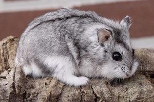 hamster-de-campbell-mascota