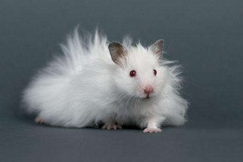 hamster sirio de pelo largo blanco