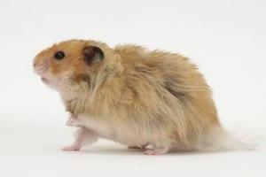 hamster sirio de pelo largo con falda