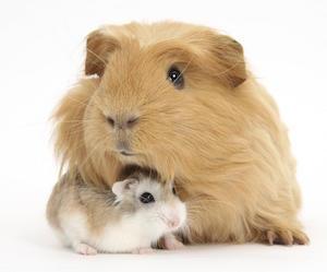 hamster sirio dorado de pelo largo