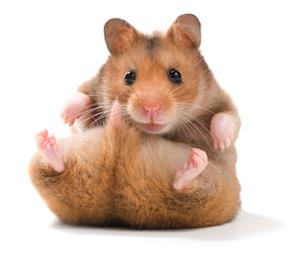 hamster sirio dorado