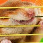 jaulas para hamster royendo
