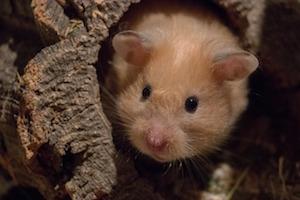 jaulas y juegos hamster sirio
